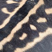 Common Zebra Skin