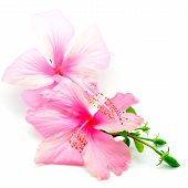 stock photo of hibiscus  - Colorful pink Hibiscus flower - JPG