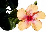 Hibiscus Isolated