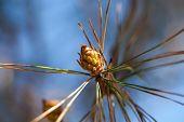Prickle pine