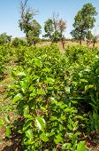 stock photo of ethiopia  - Shrubs with leaves of khat  - JPG