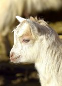 foto of baby goat  - Baby Goat portrait at farm in spring - JPG