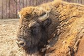 Close-up portrait of European bison
