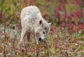 Blonde Wolf (Canis lupus) Sniffs In The Grass
