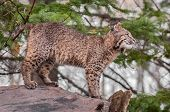 Bobcat Kitten (Lynx rufus) Stands Atop Log Looking Right