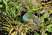 Gallinule Among Plants