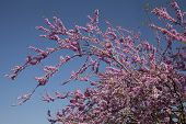 stock photo of judas tree  - Judas tree leaves and flowers in the park - JPG