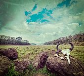 Vintage retro hipster style travel image of gaur (Indian bison) skull with horns and bones in Periya