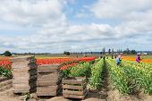 Picking Tulips On Commercial Flower Farm