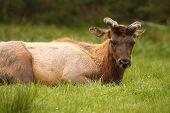 Elk Bull Sleeping
