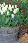 White Spring Tulips In Barrel Planter