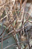 Astrophytum Cactus Prickles