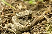 Horned Viper In Natural Habitat (vipera Ammodytes)