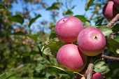 Ready to pick fruit. Apples in an orchard on the Ile d'Orleans, Canada