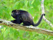 Costa Rica Howler Monkey , Black Chimpanzee Gorilla