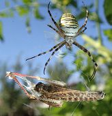 stock photo of locust  - A wasp spider and its prey, a locust