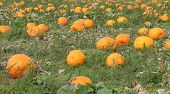 Pumpkin Plants.