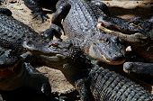 A Gathering Of American Alligators