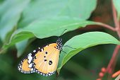 Common Tiger butterfly and green leaf