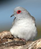image of ring-dove  - Diamond dove with orange eye ring and soft white feathers - JPG