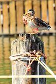 Female Duck Mallard In Port Wild Duck