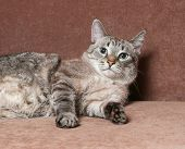 stock photo of blue tabby  - Tabby cat with blue eyes lying on brown couch - JPG
