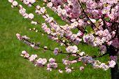 Prunus Triloba blühende almond
