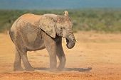 African elephant (Loxodonta africana) in dust, Addo Elephant National park, South Africa