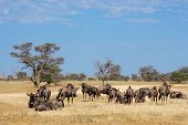 Small herd of blue wildebeest (Connochaetes taurinus), Kalahari desert, South Africa