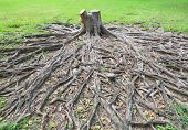 Banyan Tree Stump With Roots In Green Field