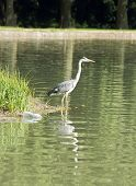 Heron raised on his legs  Pollution, a bottle in the water