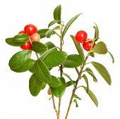 Cowberry (vaccinium Vitis Idaea) Plant On White Background