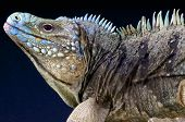 Blue rock iguana / Cyclura lewesi