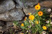 Marigold on the stones