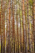 high vertical trunks of the pine trees in the forest