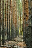 perspective alley vertical trunks of pine trees in the forest