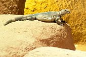 Wild lizard on the sand