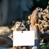 family of meerkats opposite plaques with space for text