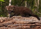 Young Fisher (martes Pennanti) Open Mouth On Log