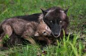 Wolf Pup (canis Lupus) Licks Mother Begging For Food