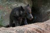 Black Wolf (canis Lupus) Pup Climbs Out Of Den