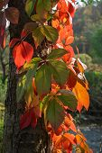 Light-flooded autumn leaves on a tree trunk