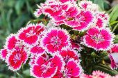 Dianthus Chinensis Flowers.