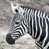 Grants Zebra (equus Burchelli Boehmi)