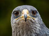 Black Chested Eagle Buzzard