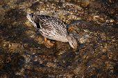 A duck
