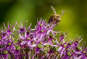 Honey Bee Still and Flower