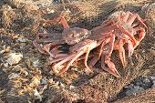 The Fresh Caught Crabs On Kamchatka