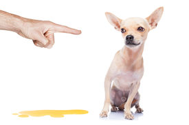 stock photo of urinate  - chihuahua dog being punished for urinate or pee at home by his owner isolated on white background - JPG