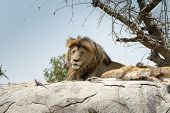 Male Lion Sitting On A Rock Sitting Sideways And Looking Straight